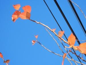 Cherry tree leaves show reddish fall hue.